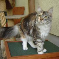 Foto 3 2jährige Maine Coon Katze