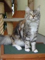 Foto 4 2jährige Maine Coon Katze