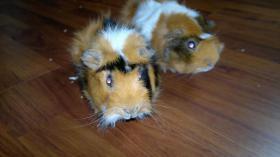 Foto 2 2kleine süsse Meerschweinchen