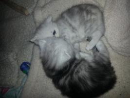 2perser main coon kitten