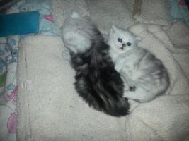 Foto 2 2perser main coon kitten