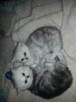 Foto 3 2perser main coon kitten