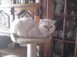 Foto 4 2perser main coon kitten