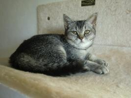 Foto 2 3 BKH Kitten Babys Black Silver tabby Mädchen
