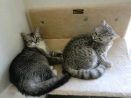 Foto 4 3 BKH Kitten Babys Black Silver tabby Mädchen