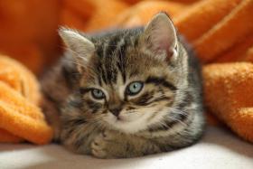 3 BKH Kitten sind noch zu haben