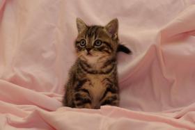 Foto 2 3 BKH Kitten sind noch zu haben