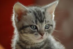 Foto 3 3 BKH Kitten sind noch zu haben