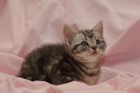 Foto 4 3 BKH Kitten sind noch zu haben