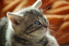 Foto 5 3 BKH Kitten sind noch zu haben