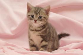 Foto 6 3 BKH Kitten sind noch zu haben
