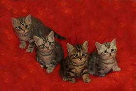 Foto 7 3 BKH Kitten sind noch zu haben