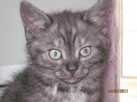 Foto 2 3 BKH-Perser Kitten