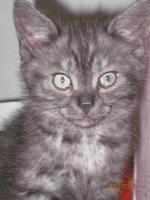 Foto 3 3 BKH-Perser Kitten
