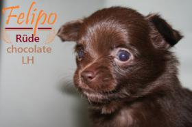 Foto 6 3 Besonders hübsche Chihuahua Welpen.