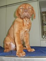 Foto 3 3 Bordeaux Doggen Welpen Hündinnen 10 Wochen alt