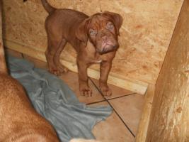 Foto 5 3 Bordeaux Doggen Welpen Hündinnen 10 Wochen alt