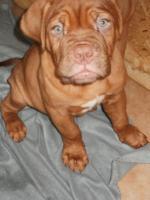 Foto 6 3 Bordeaux Doggen Welpen Hündinnen 10 Wochen alt