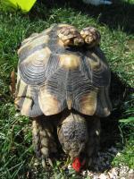 Foto 2 3 Breitrandschildkröten geb.2015 und eine Breitrandschildkröte geb.2002 geschlechtsreif männlich