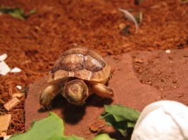 Foto 3 3 Breitrandschildkröten geb.2015 und eine Breitrandschildkröte geb.2002 geschlechtsreif männlich