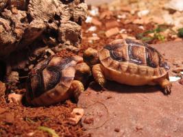 Foto 4 3 Breitrandschildkröten geb.2015 und eine Breitrandschildkröte geb.2002 geschlechtsreif männlich