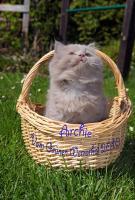 3 British Langhaar Katerchen in lilac, mit Papieren Ace, Archie und Aragon