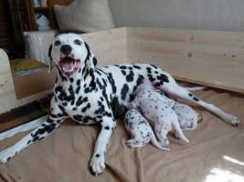 Foto 4 3 Dalmatinerwelpen
