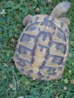 3 Griech. Landschildkröten