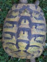 Foto 2 3 Griech. Landschildkröten