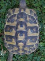 Foto 3 3 Griech. Landschildkröten