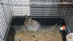3 Hasen (2 m kastriert / 1 w) sehr zahm und lieb mit riesigem Käfig in gute Hände abzugeben