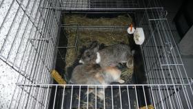 Foto 2 3 Hasen (2 m kastriert / 1 w) sehr zahm und lieb mit riesigem Käfig in gute Hände abzugeben