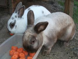 3 Hasen Kaninchen- K�ln Wahn- zu verschenken