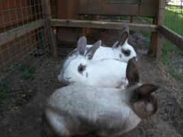 Foto 2 3 Hasen Kaninchen- K�ln Wahn- zu verschenken