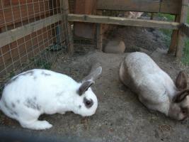Foto 3 3 Hasen Kaninchen- K�ln Wahn- zu verschenken