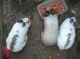 Foto 4 3 Hasen Kaninchen- K�ln Wahn- zu verschenken