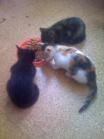 3 Hauskatzen abzugeben
