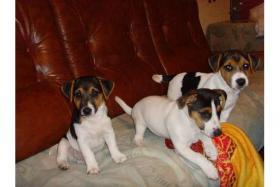 3 Jack russel terrier welpen