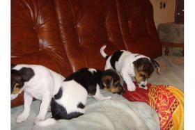 Foto 2 3 Jack russel terrier welpen