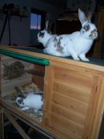 3 Kaninchen (1/2 Jahr alt) zu verkaufen