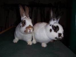 Foto 2 3 Kaninchen (1/2 Jahr alt) zu verkaufen