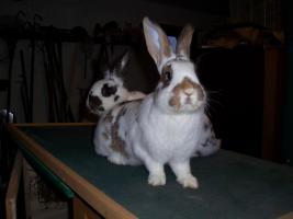 Foto 3 3 Kaninchen (1/2 Jahr alt) zu verkaufen