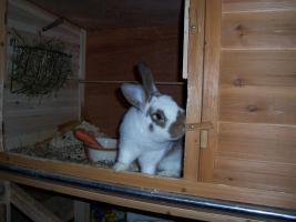 Foto 4 3 Kaninchen (1/2 Jahr alt) zu verkaufen