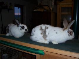 Foto 5 3 Kaninchen (1/2 Jahr alt) zu verkaufen