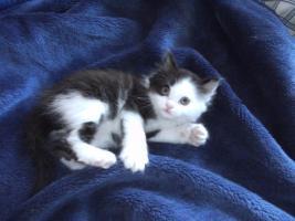 Foto 2 3 Kitten suchen 250€
