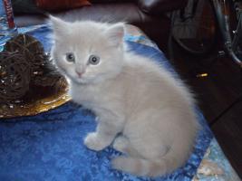 Foto 3 3 Kitten suchen 250€