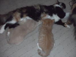 Foto 5 3 Kitten suchen 250€