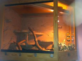 3 Kornnatern mit schönen Terrarium