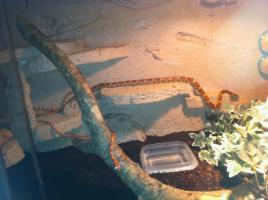 Foto 5 3 Kornnatern mit schönen Terrarium