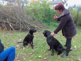 3 Labrador-Welpen
